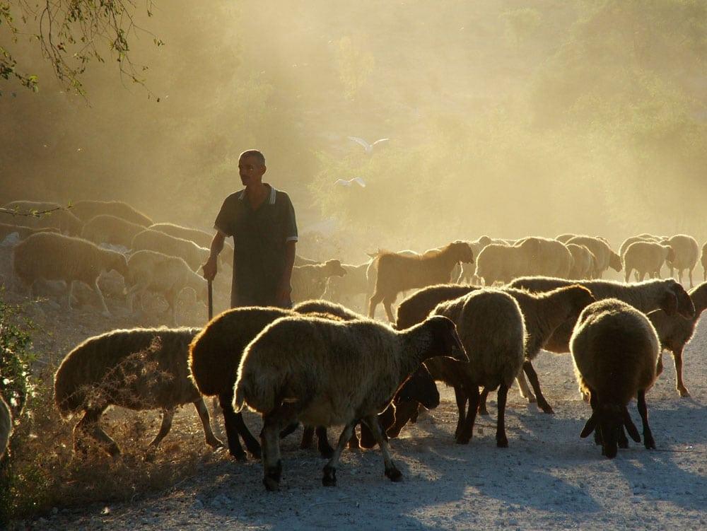 Pastor de Ovelhas nas Montanhas da Judeia