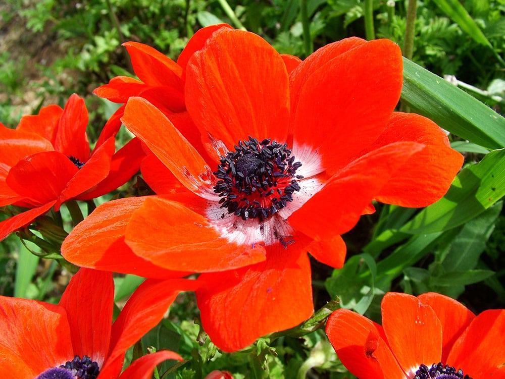 Anemona Coronaria, muito comum no final do inverno e começo da primavera, um símbolo nacional