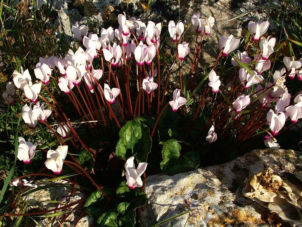 Cyclamen persicum ou Rakefet, aparece principalmente no final do inverno