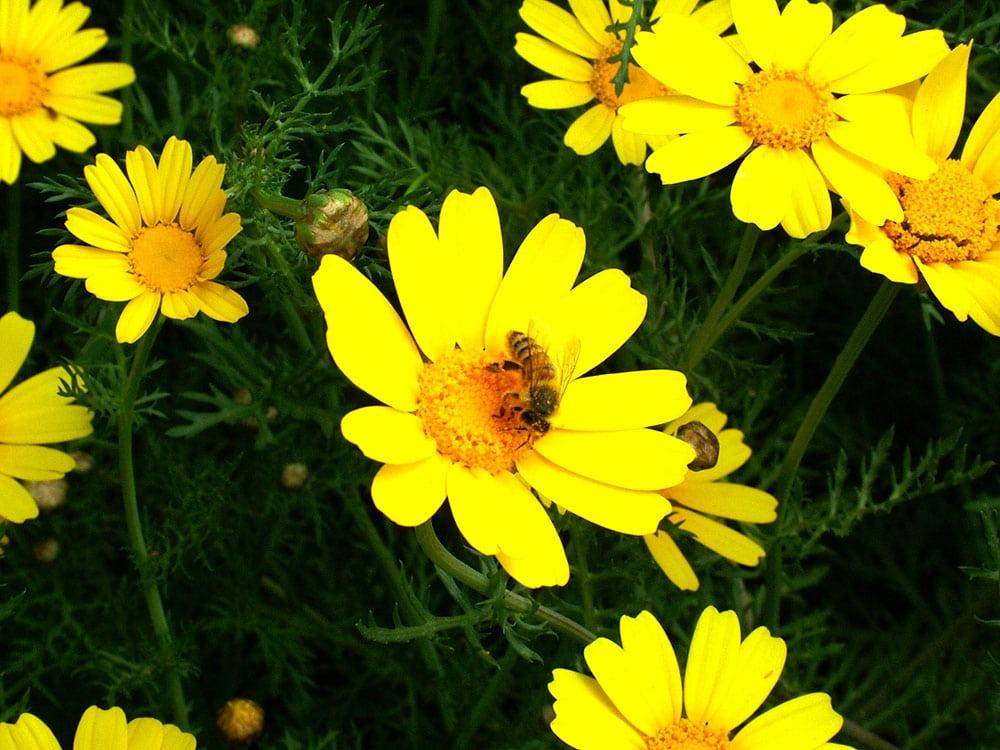 Chrysanthemum coronarium ou Hartzit Aturah
